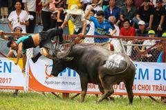 Lễ hội chọi trâu: Di sản thiếu an toàn