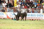 Trâu chọi húc chết chủ tại lễ hội ở Đồ Sơn