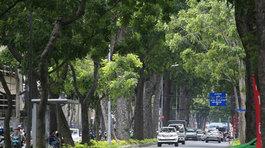Di dời, đốn hạ 258 cây xanh ở quận 1 để xây cầu Thủ Thiêm 2