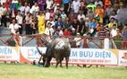 Hủy bỏ tổ chức đấu loại lễ hội chọi trâu Đồ Sơn
