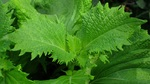 Tía tô xuất khẩu sang Nhật 700 đồng/lá được trồng như thế nào?