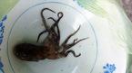 Hy hữu: Bạch tuộc cắn chết người ở Thừa Thiên - Huế