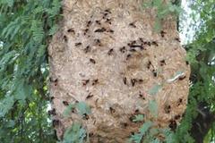 Hi hữu: Đi bắt ong, bị ong đốt tử vong