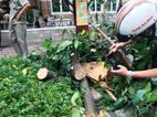 Không mưa gió, người Sài Gòn vẫn bị cây gãy đè trọng thương