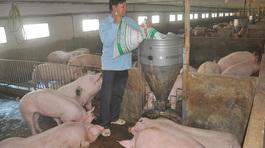 Thịt lợn tăng mạnh: 6 tháng lỗ nặng mới bắt đầu hòa vốn