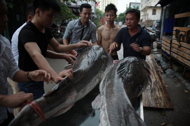 Cặp cá lăng khổng lồ nặng 300kg 'bơi' từ Campuchia về Hà Nội