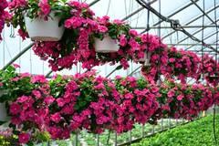 """12 loài hoa trồng ban công này sẽ khiến nhà bạn """"nổi nhất phố"""""""