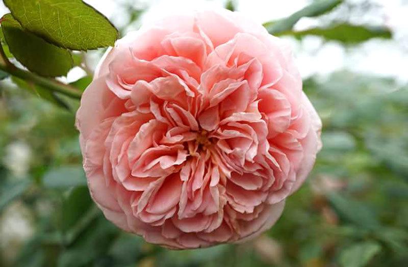 'Thiên đường' 600 loài hoa hồng của nữ Thạc sĩ giữa lòng Hà Nội