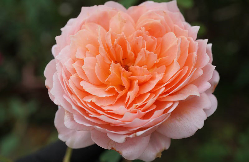 hoa hồng, vườn hồng, vườn hồng Hà Nội