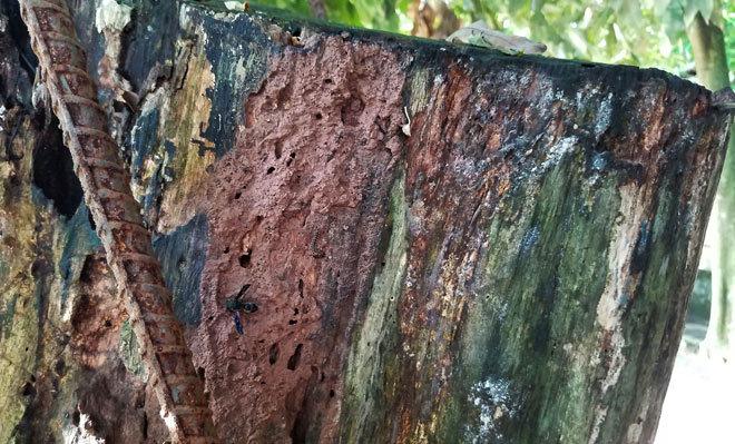 cây sưa, sưa trăm tỷ, gỗ sưa, gỗ quý