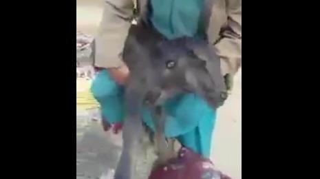 Xuất hiện bê 2 đầu kỳ quái ở Pakistan