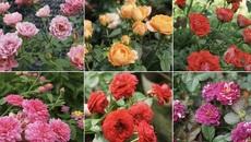 Chồng bớt lương, chiều vợ xuất ngoại sưu tập 500 loài hoa hồng