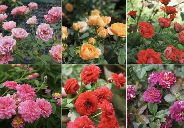 hoa hồng, vườn hồng, vườn hồng Hà Nội, trồng hoa hồng