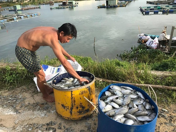 Đà Nẵng: 60 tấn cá chết xếp lớp dày đặc trên sông