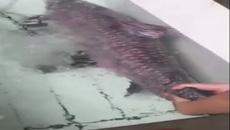 Đã mắt với cá trắm đen nặng 45kg tại chợ cá Yên Sở