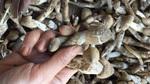 1,5 triệu đồng/kg nấm mối cuối mùa