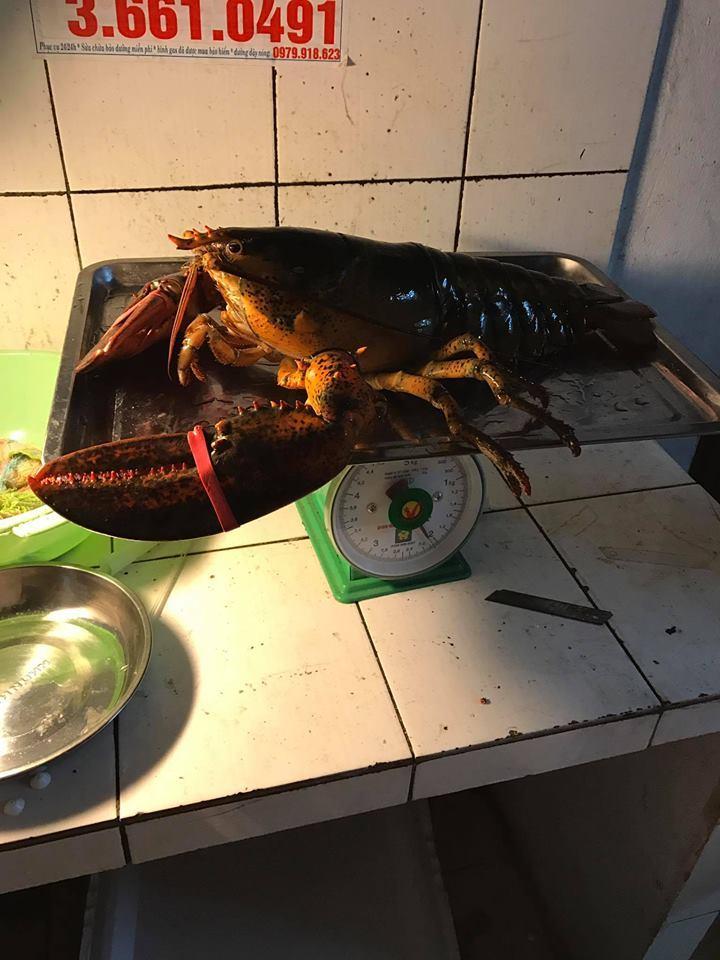 Đại gia Việt săn tôm hùm 'khổng lồ' nặng tới 7kg tặng nhà vợ