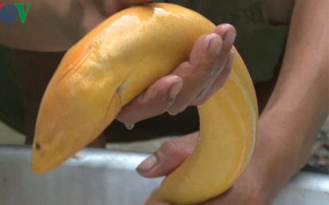Bắt được con lươn vàng 'khủng', nhiều người hiếu kỳ đến xem