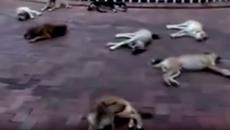 Hành động của đàn chó hoang khi bạn bị xe cán chết gây kinh ngạc