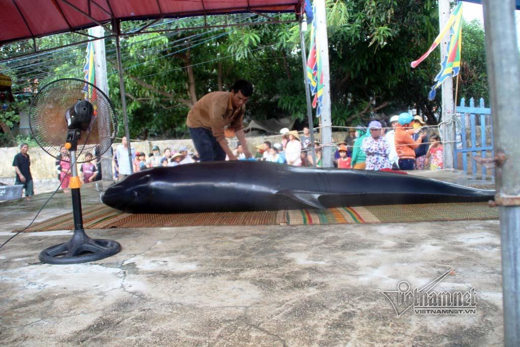 Cá voi gần 7 tạ dạt vào vùng biển Bình Định