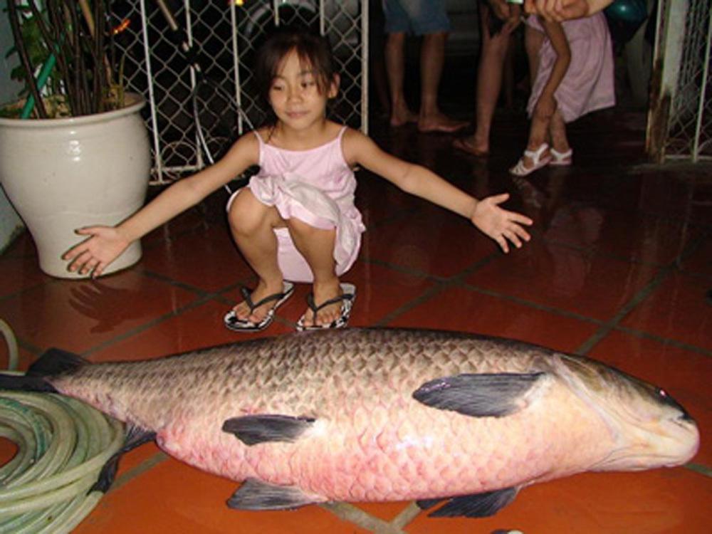 cá trắm đen,cá khủng,thủy quái,cá trắm