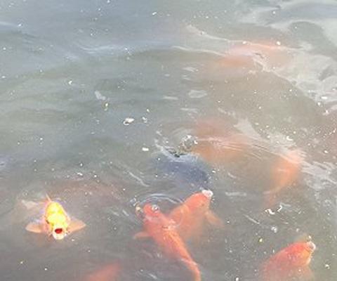 Ngắm ao làng có nhiều cá nhất Hà Nội