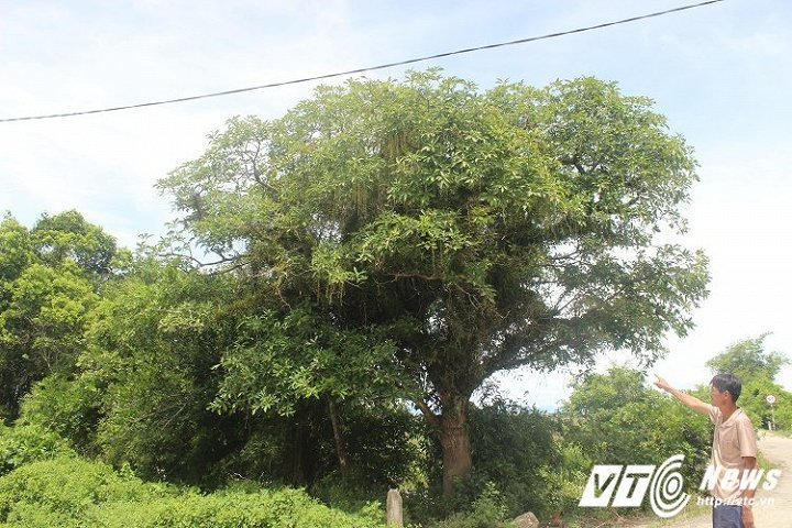Rừng lộc vừng trăm tuổi: Báu vật ngôi làng xứ Huế