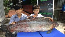 Cá trắm đen kỷ lục nặng 55kg 'bơi' từ Thác Bà về Hà Nội