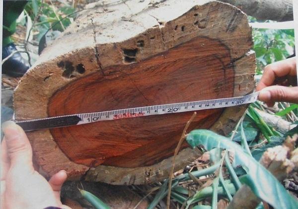 Gốc gỗ trắc bốc hơi, chi cục thi hành án, Kon Tum,