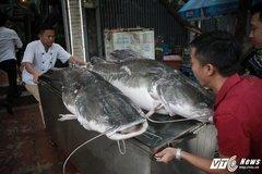 Cặp cá lăng cực hiếm 100 kg bay từ Campuchia về Hà Nội