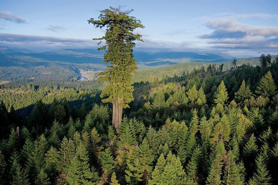 Cây cổ thụ lớn nhất thế giới, cổ thụ, cây lâu năm nhất thế giới