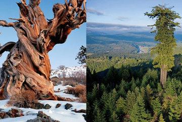 7 cây cổ thụ lâu đời nhất thế giới: hơn 4.000 năm tuổi