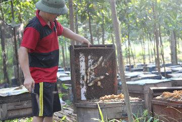 Cả xã đứng ngồi không yên vì ong tàn phá rừng keo