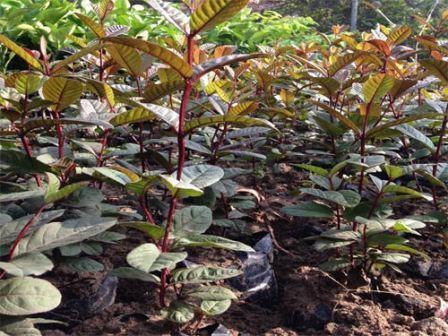 Phát sốt vì giống ổi sim ruột tím, có hoa nở giá 1,2 triệu đồng/cây