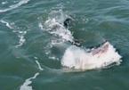 Cá sấu 'khủng' xảo quyệt chọn thời cơ hạ gục cá mập