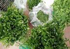 Nhà giàu Hà Nội chi tiền triệu 'săn' đặc sản rau rừng