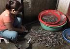 Hà Nội: Bắt quả tang cơ sở đang bơm tạp chất vào tôm