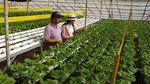 Bỏ giám đốc trăm triệu về mở trại trồng rau
