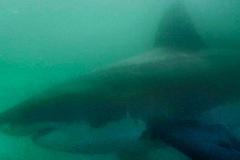 Khoảnh khắc 5 cá mập trắng bủa vây 2 người đẹp lướt sóng