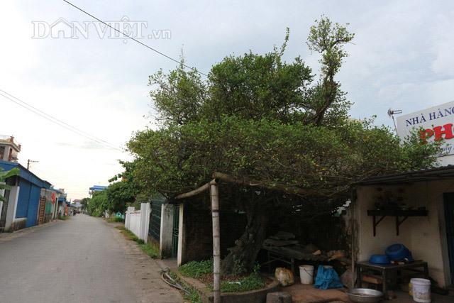Bốn gốc lộc vừng trăm tuổi: Trả chục tỷ cả làng quyết không bán