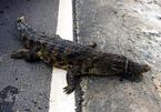 Bắt được cá sấu 30 kg ở Hà Nội