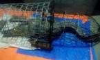 Lo cá sấu nặng hơn 40 kg tiềm ẩn trên sông Hà Nội