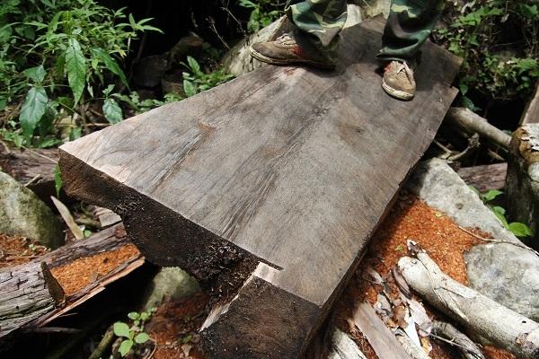 Làm rõ gỗ thông đỏ cất trong nhà Trưởng ban quản lý rừng