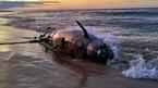 Cá heo nặng 3,5 tạ dạt biển Thừa Thiên - Huế
