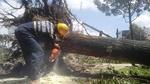 Đốn hạ, di dời 123 cây xanh để giải cứu kẹt xe Tân Sơn Nhất