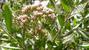 Chữa cảm sốt bằng cây cúc tần