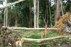 Khởi tố một loạt lãnh đạo công ty lâm nghiệp để mất rừng