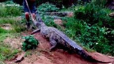 Coi thường sát thủ đầm lầy, người đàn ông bị cá sấu quật ngã