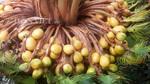Cây vạn tuế hiếm có khó tìm 'đẻ' 400 'trứng vàng'