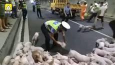 Cảnh sát giao thông TQ giúp bắt lợn trên cao tốc